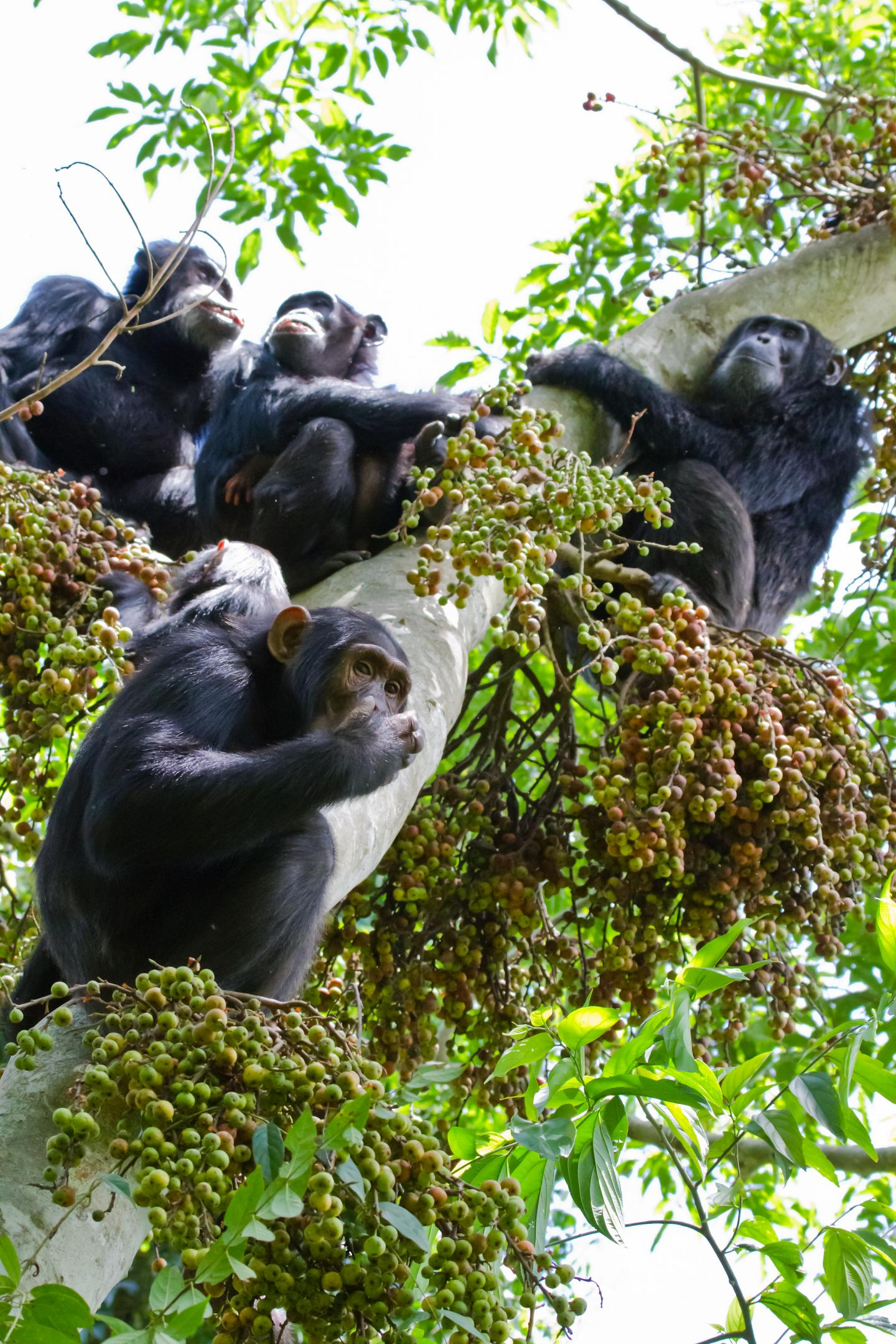Female Chimps Stressed out by Competing Suitors