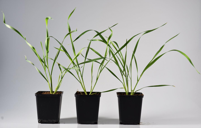 Wheat Plants Which Overexpress a Maize Methyltransferase Gene