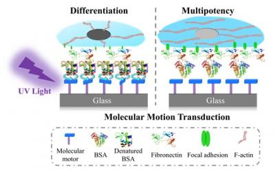 How Motor Molecules Affect Cell Differentiation