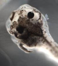 Treated Frog Embryo