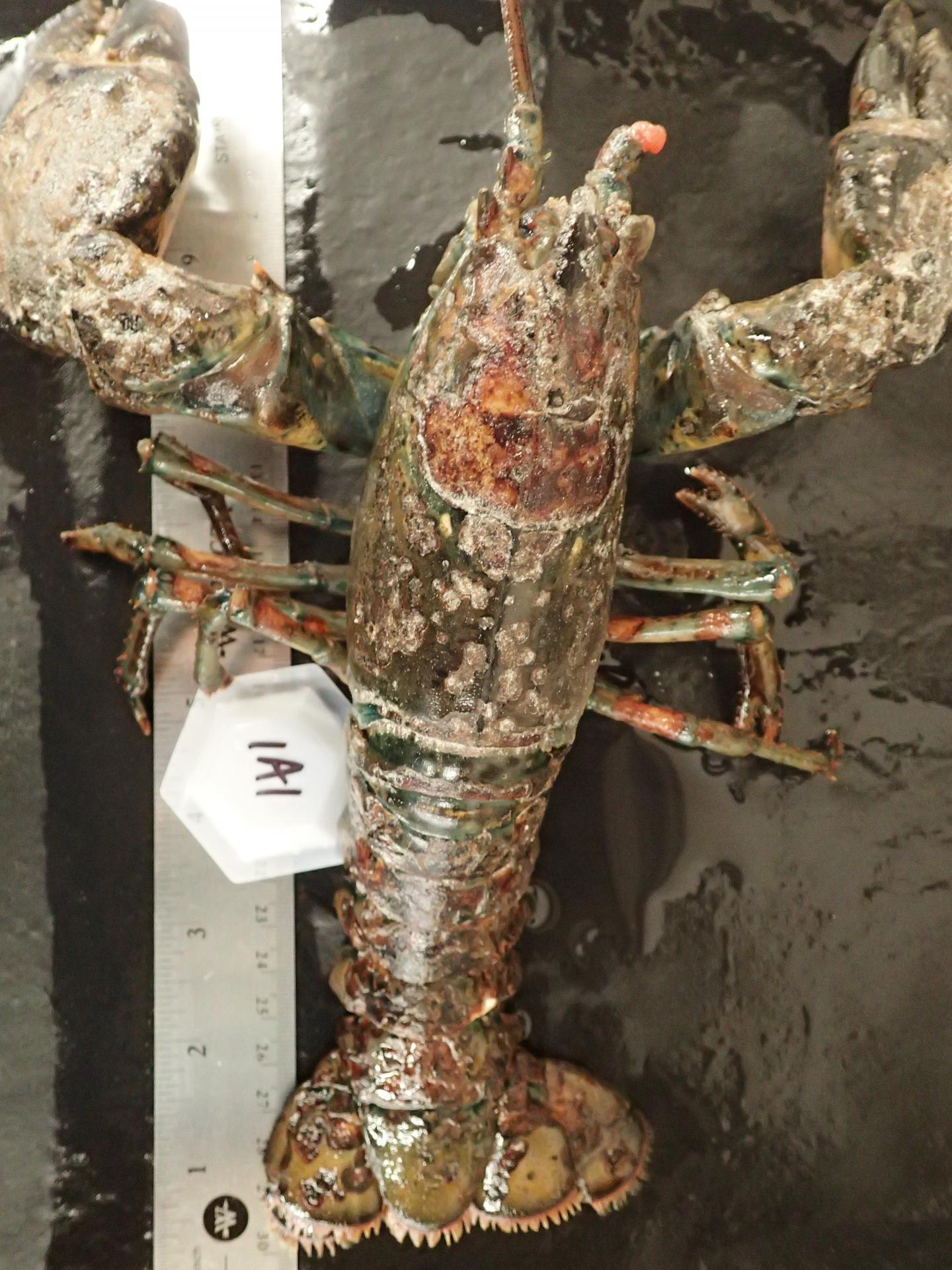 Sick Lobster