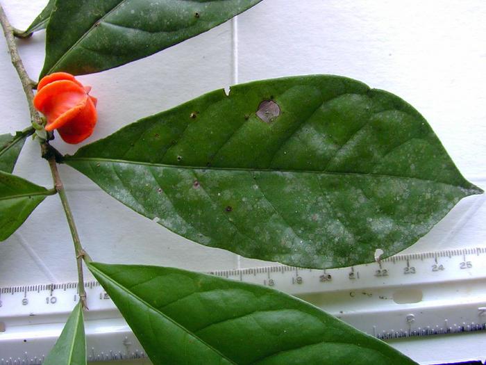 Leaf and fruit