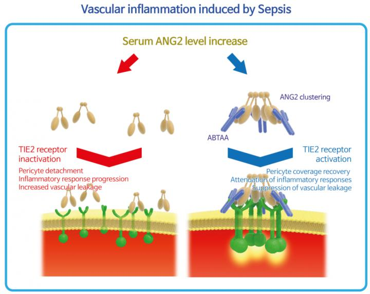 Vascular Inflammation Induced by Sepsis