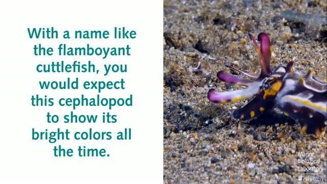 Flamboyant Cuttlefish Behavior