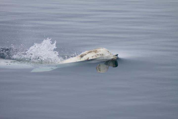 Beluga Swimming