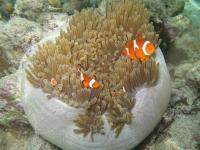 One sea anemone often hosts a group of a few clownfishes