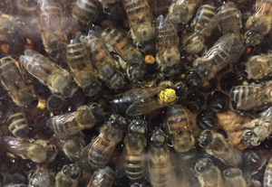 A queen bee surrounded by workers inside an observation hive