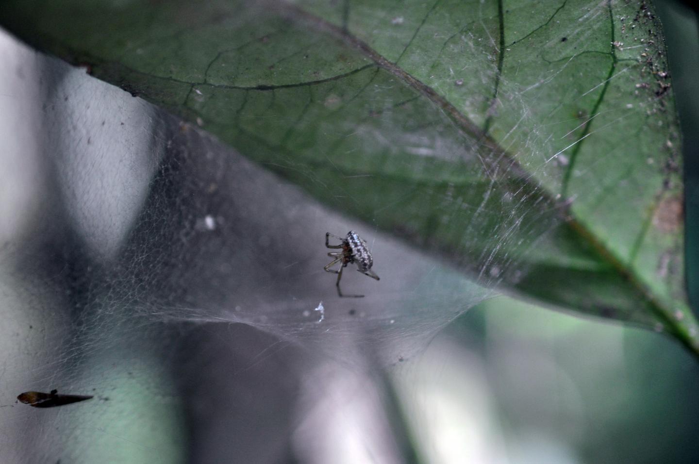 Zatypota Larva Killing Its Host
