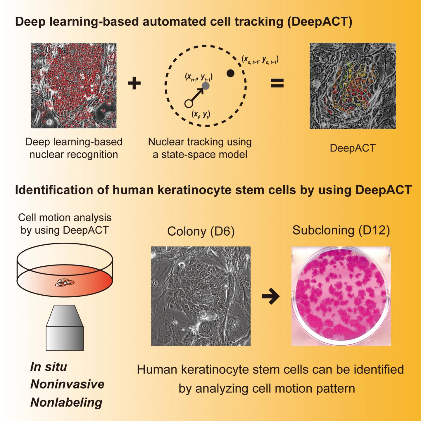 Deep learning-based automated cell tracking (DeepACT) for identification of human keratinocyte stem cells.