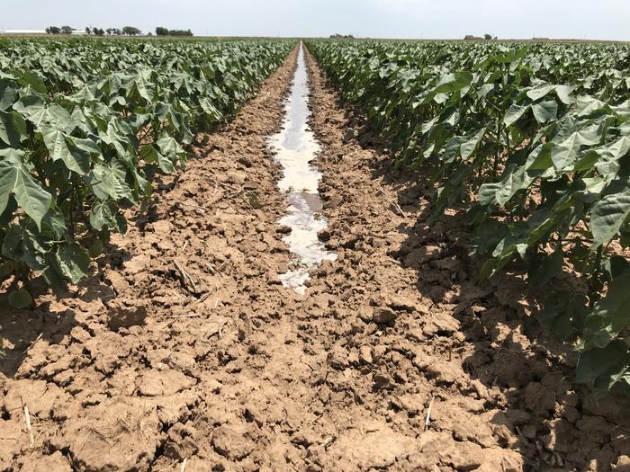 Cotton field in SW Oklahoma