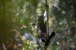 Indri songs recorded in the wild have rhythmic categories similar to those found in human music.