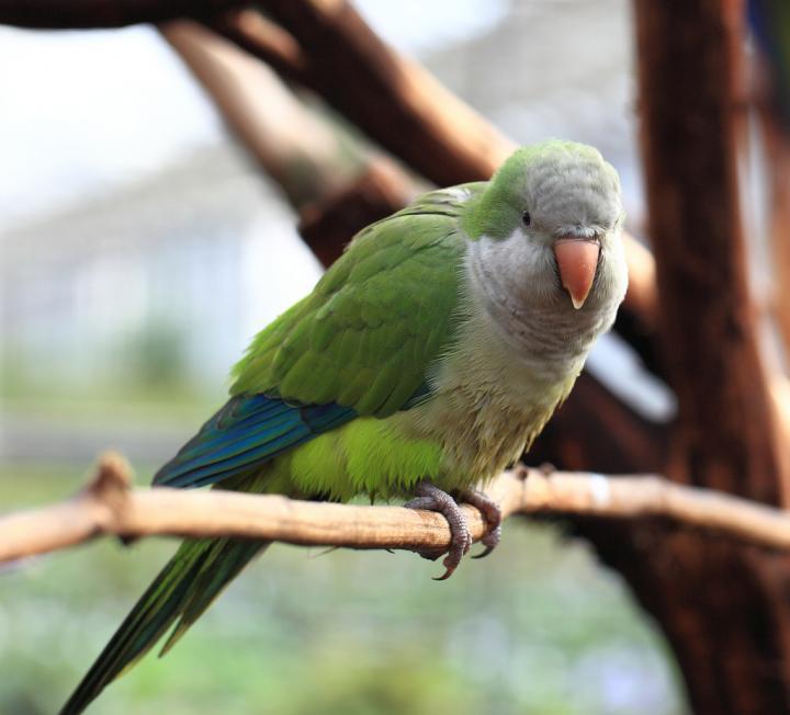 Monk Parakeet (<i>Myiopsitta monachus</i>)