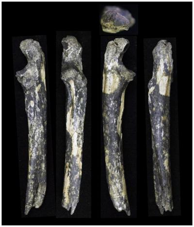 <i>Australopithecus</i> Fossils Found East of the Great Rift Valley