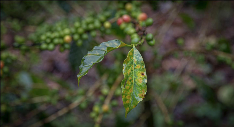 Rutgers coffee rust leaves