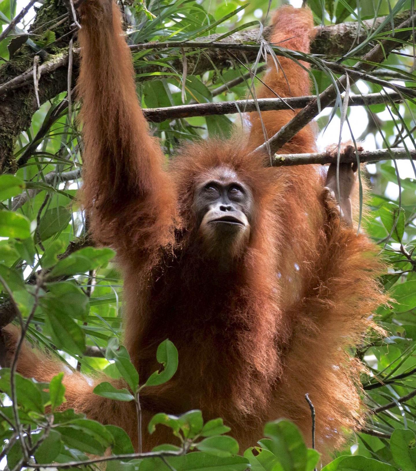 Orangutan (1 of 3)