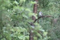 Mismatched warbler among trees