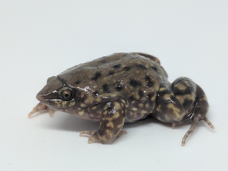 Frogs That Burrow Underground Have Unusual Anatomy