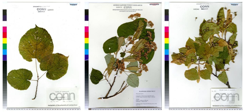 Phenological Stages of <i>Tilia americana</i>