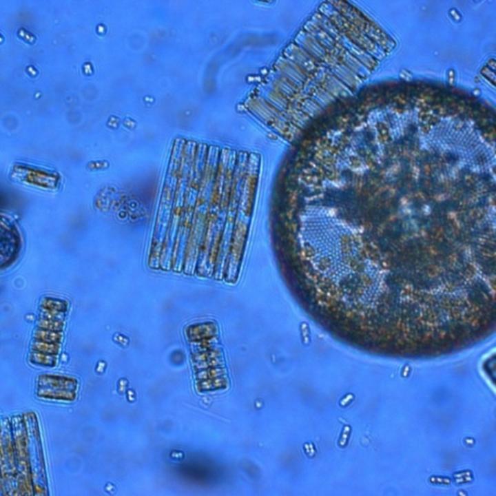 Ross Sea Diatoms