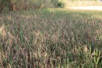 Infected Rice Plants