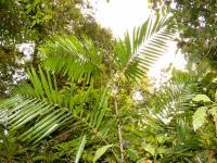 Cambodian Rattan Species <i>Calamus mellitus</i>