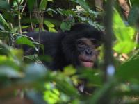 Bonobo Eating Seed