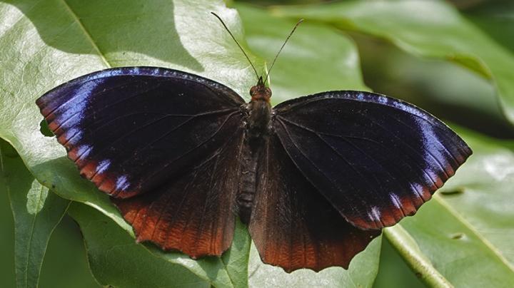 Male Elymnias hypermnestra