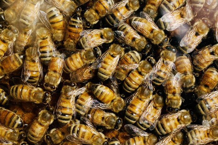 Honey Bees and Fungicides