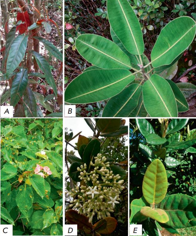 The Mauritian Endemic Medicinal Plants under Study