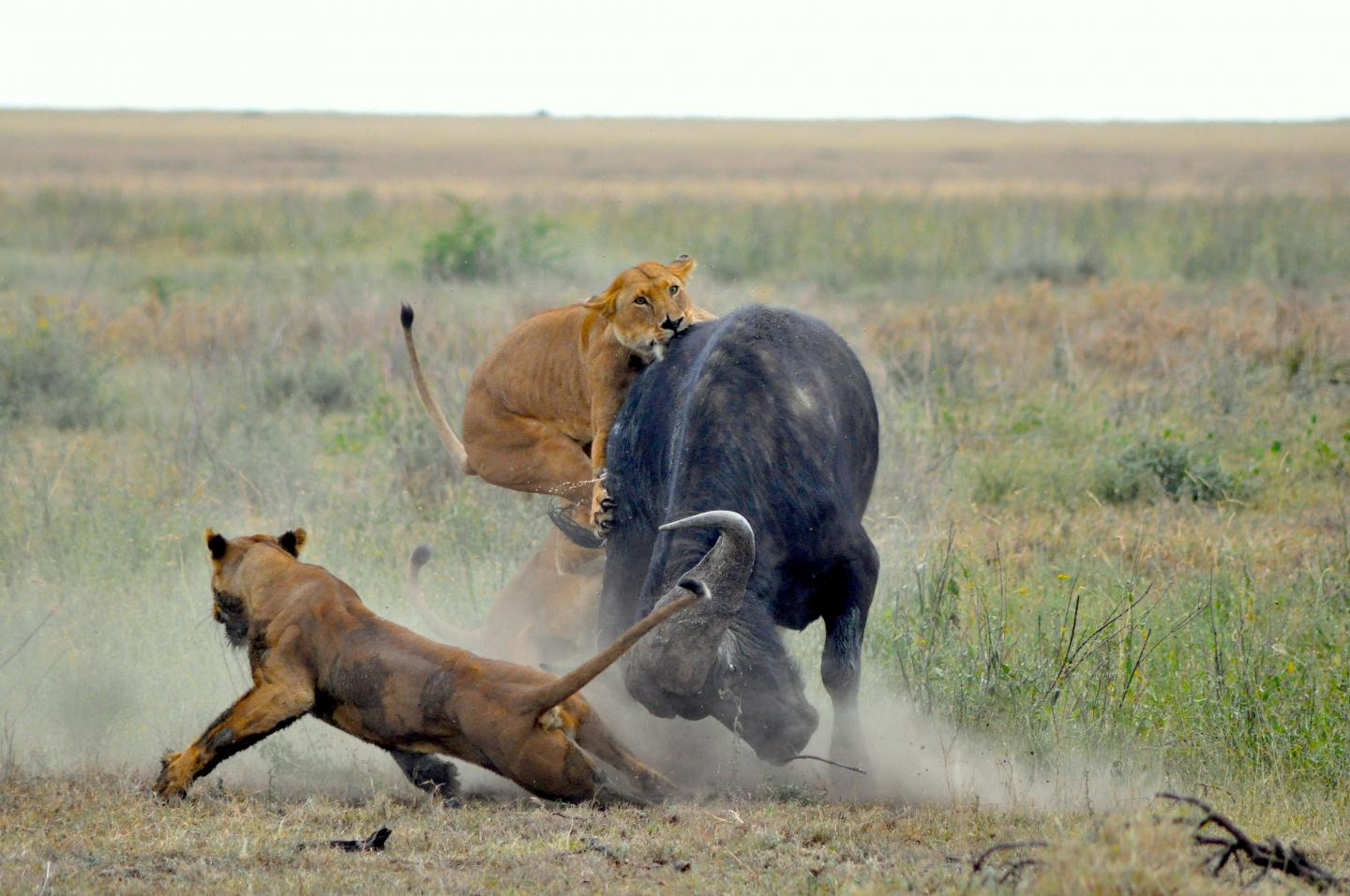 Buffalo Being Attacked by Lions in Serengeti National Park (1 of 2)