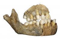 Neandertal Maxillary Bone
