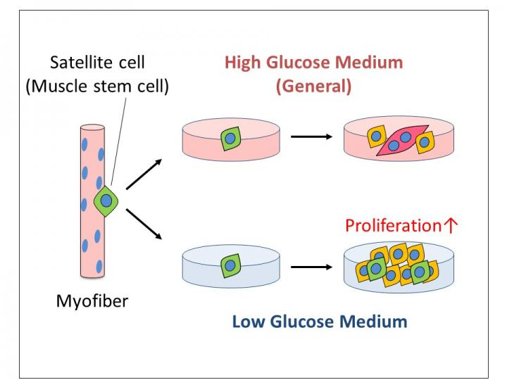 Low glucose leads to more proliferation of skeletal muscle satellite cells