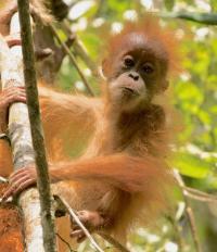 Orangutan (3 of 3)