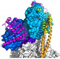 Tropomodulin on An Actin Filament