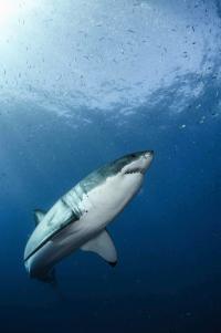 Great White Shark (2 of 2)