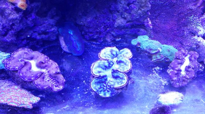 Giant Clam shells (alive)