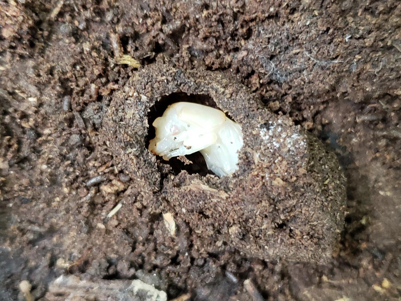 Bessbug beetle larva
