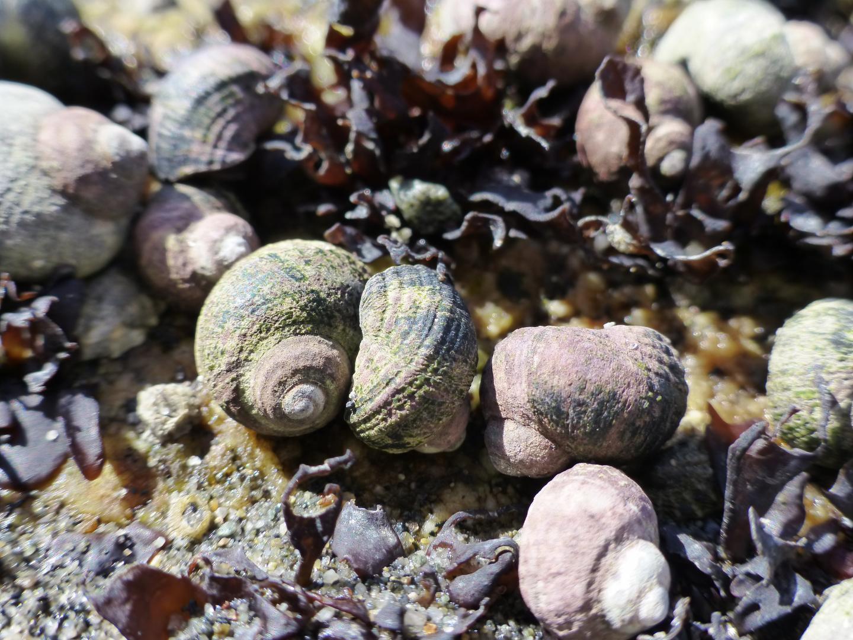 Native Snail