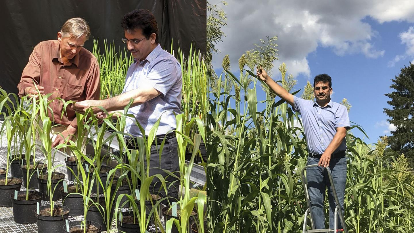 The KIT1 Sorghum Variety Developed by KIT Accumulates a High Amount of Sugar and Thrives