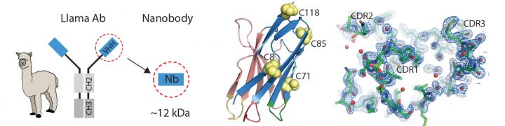 Llama-Derived Nanobodies as a New Tool in Solving Crystal Structure