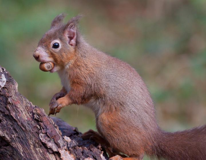 Human Leprosy Found in British Red Squirrels