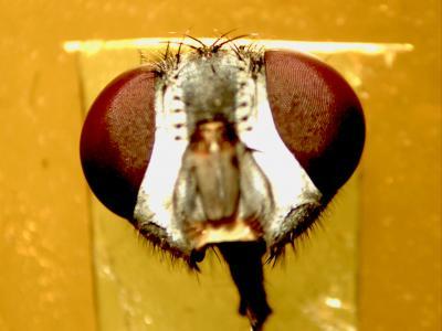 Head of a Blowfly