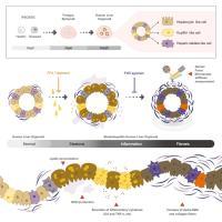 Schematic Illustration of <em>Cell Metabolism</em> Paper