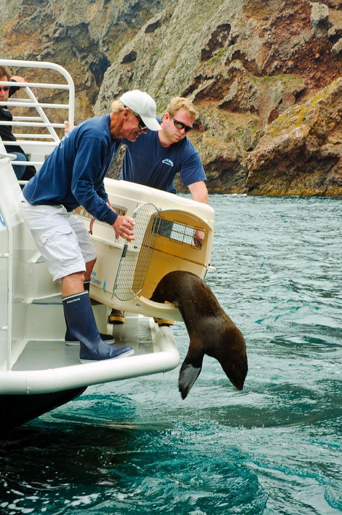 Releasing a Guadalupe Fur Seal