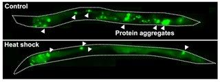 Heat Shock Reduces Protein Aggregation