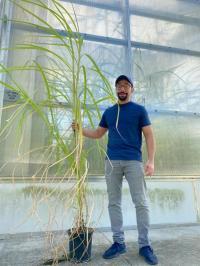 CABBI's Ayman Eid with gene-edited sugarcane