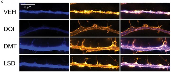 Psychedelics on Cortical Neurons