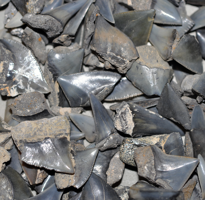 Shark diversity unaffected when the dinosaurs were wiped out