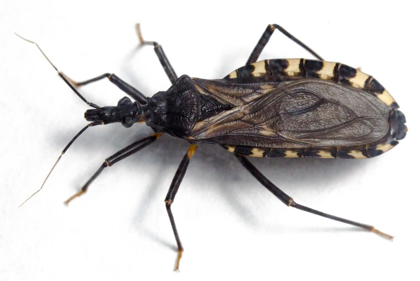 """The triatomine or """"kissing"""" bug Triatoma infestans."""