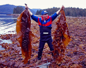 Waste to Energy: Biofuel from Kelp Harvesting and Fish